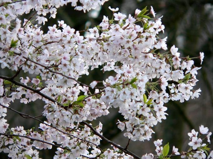 Frühlingsblüten (c) CHenkel