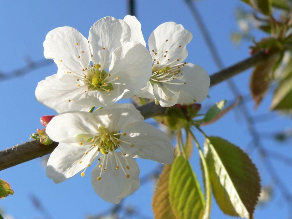 (c) Dirk Henkel, Pflaumenblüte